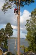 Arborist, stora killar klättrar i träd