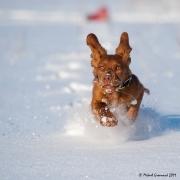 Hundar i snö