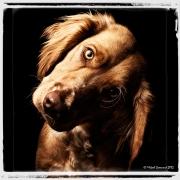 Hundporträtt i studio