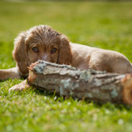 På Jaktbild.se finns bilder på hundar i alla åldrar