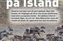 Renjakt på Island